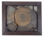 An ammonite specimen in a mahogany frame.