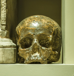 Cast or model of a human skull, plaster.